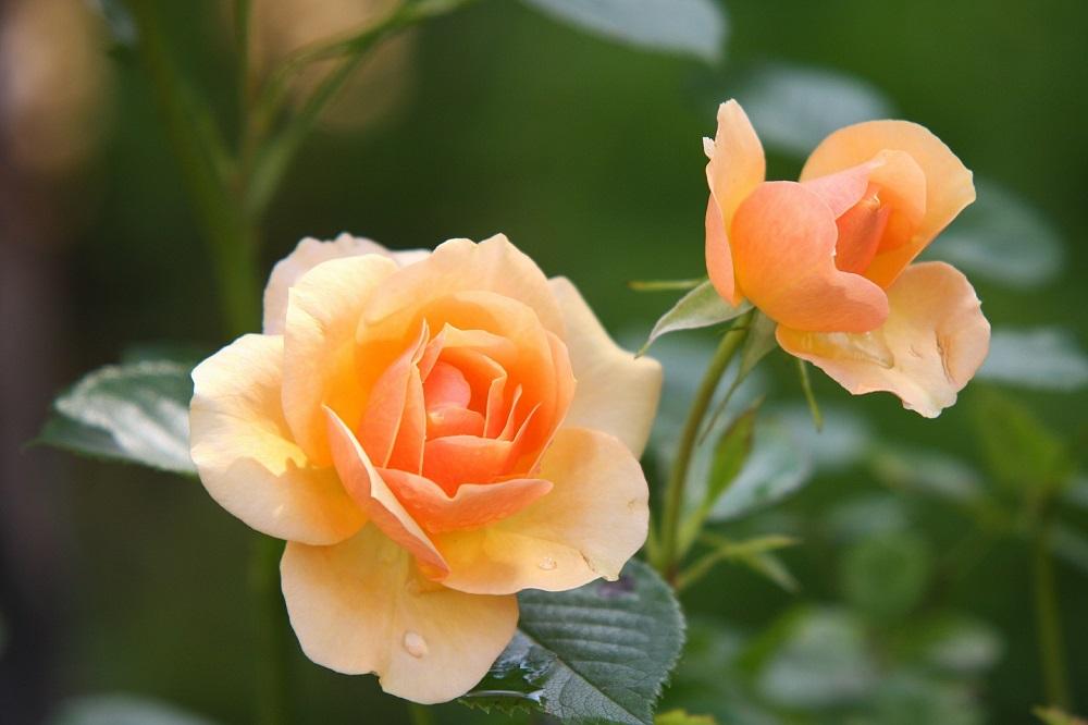 Das Deutsche Rosarium umfasst eine Rosensammlung von rund 2.600 verschiedenen Sorten und Arten