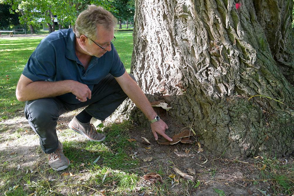 """Ralf Schomberg, Baumsäulenleiter beim Grünflächenamt der Stadt Dortmund, erläutert: """"Fünf bis sechs Jahre kann der Pilz sein zerstörerisches Werk im Inneren des Baumes vollbringen, ehe der Fruchtkörper zu sehen ist. Auf Laien macht der Baum in dieser Zeit einen gesunden Eindruck."""" (Foto: Stadt Dortmund)"""